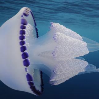 Jellyfish (Rhizostoma pulmo)